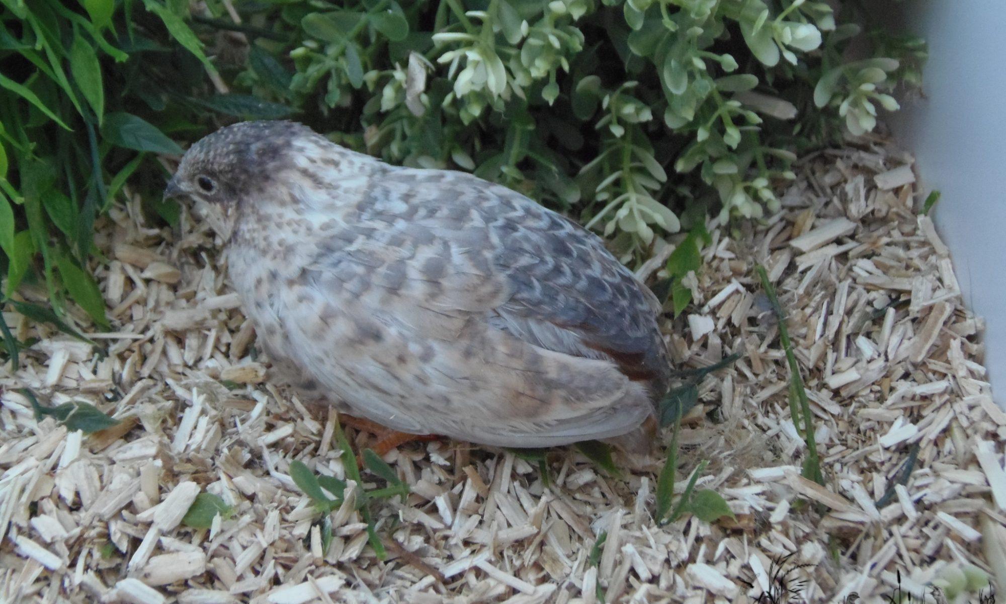 Chinese painted quail female